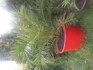 Palma drvo , cvijet