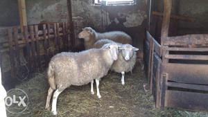 Ovce SLOVENKE