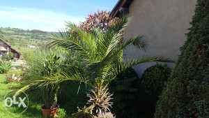 Palma drvo