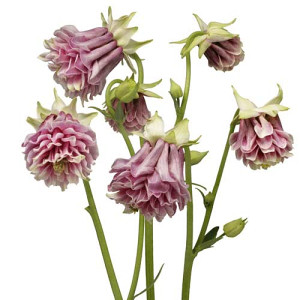 Aquilegia roza (40 sjemena)
