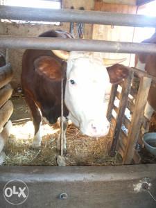 krava prvoteljka sa teletom