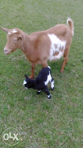 Koza sa jaretom
