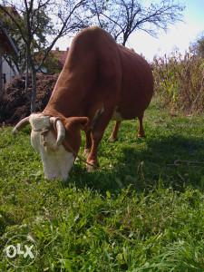 Krava steona