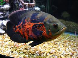 Kupujem OSKAR ribe