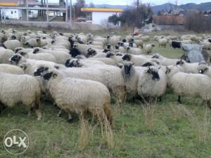 Ovce i ovnove