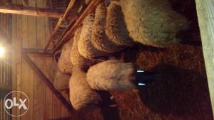 romanovske ovce i siljezice