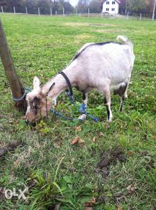 Alpska koza