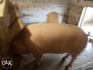 svinja 180-200 kg