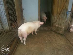 Dvije svinje