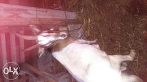 Koza mlada