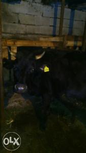 Krava Buša