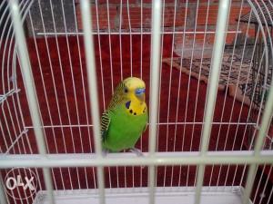 papagaj tigrica muziljak sa kavezom