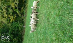 Elektricni pastir mreze i 7 janjica rasa IL DE FRANCE