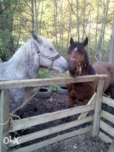 Konji- konj