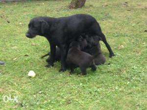 Psi Labradori