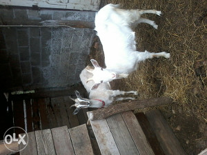 Prodaja koza