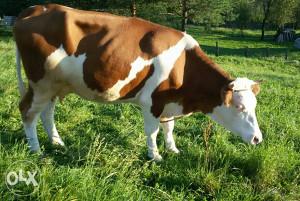 Krava za držanje