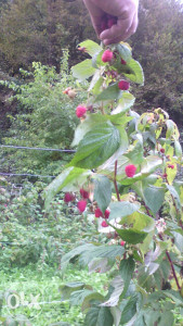 Malina polka, sadnice