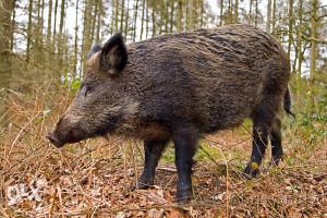 divlja svinja ženska oko 70 kg