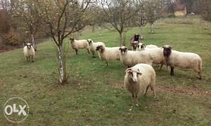 ovce ovcarske