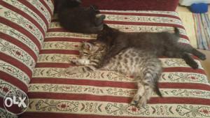 Poklanjam male mačiće