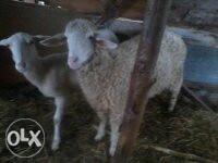 Ovce dvije sjajne
