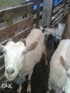 koze i jarici