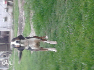 lovacki pas srpski trobojni gonic trobojac