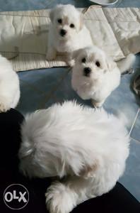 Maltezer štenad maltese puppies SNIŽENO