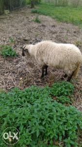Ovca cigaja