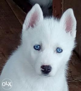 Sibirski Haski- štenad