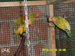 Papagaji više vrsta
