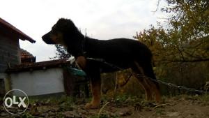 Pas Njemacki lovni terijer (moze zamjena)
