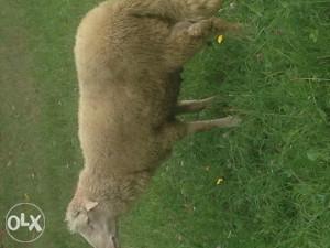 Ovce sjenicke sjajne