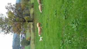 vintenberg ovce