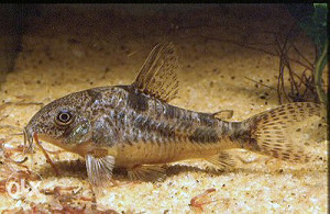 corydoras paleatus (maticno jato 5 kom)