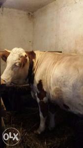 Junica krava