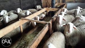 jezero solcavske ovce