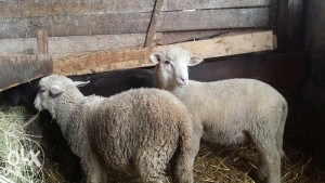 ile  de france usko jagnje