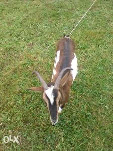Koza alpina, skozna 2 mjeseca , citaj detaljno