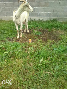 Koza bijela, domaca koza, skozna