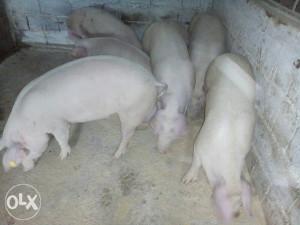 Prodajem tovne svinje