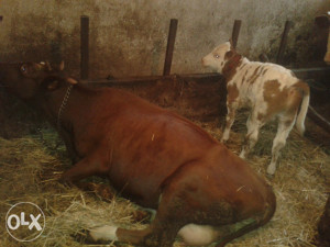 Krava sa teletom