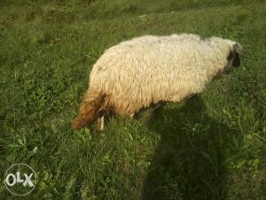 velika dobra ovca