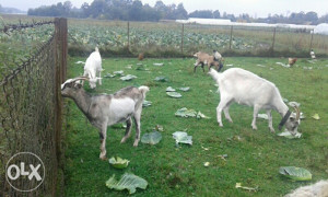 Koza koze može zamjena ovce janjad