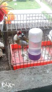 Štigliči ptice