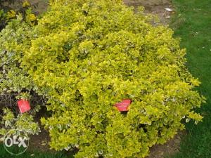 SADNICE Euonymus emerald gold(U SAKSIJAMA)