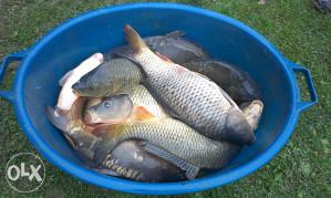 Riba, Savska i tovljeni šaran