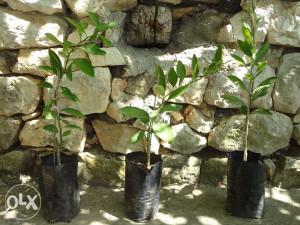 Kalemljene sadnice južnog voća (agruma, citrusa)