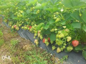 sadnice jagoda jagode  sorta joly 065 580 401